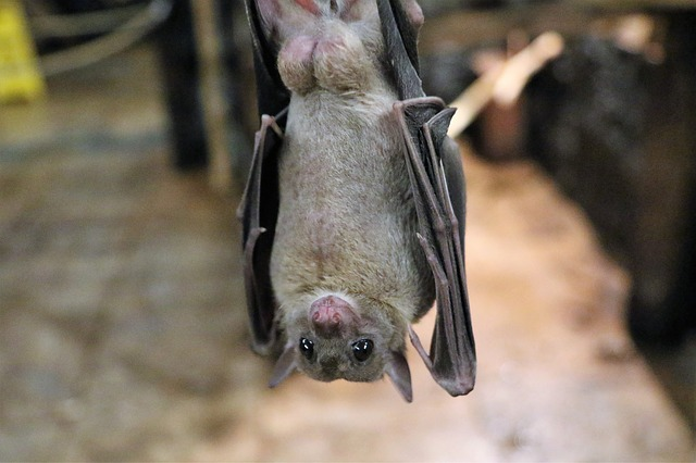 fruit-bat-1582189_640