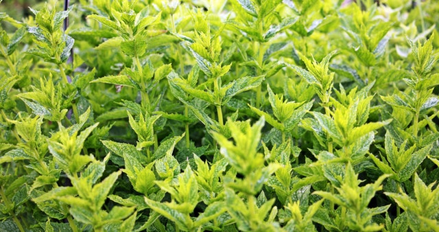 aroma-aromatic-close-up-159212