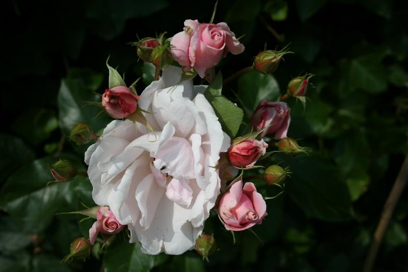 ziekte rood roos